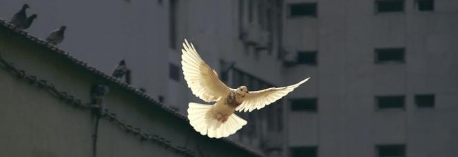 White dove mid-flight in front of tall building.